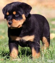 Rottweilers 5 Differnet Types Of Dogs